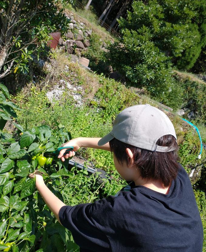 夏野菜の収穫の様子その1