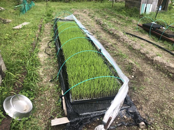 棚田で田植え体験の様子その2