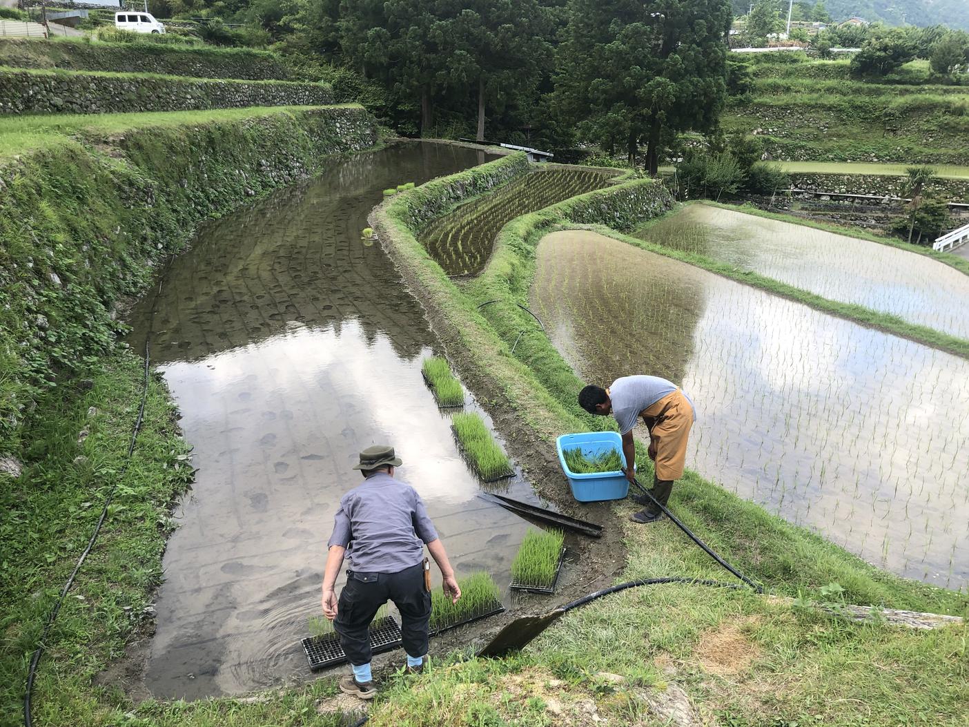 棚田で田植え体験の様子その3